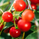 Red Ripe Berries Prunus subg. Cerasus on tree In Summer Vegetable Garden - PhotoDune Item for Sale