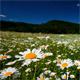 Valley With Camomile Flowers - VideoHive Item for Sale
