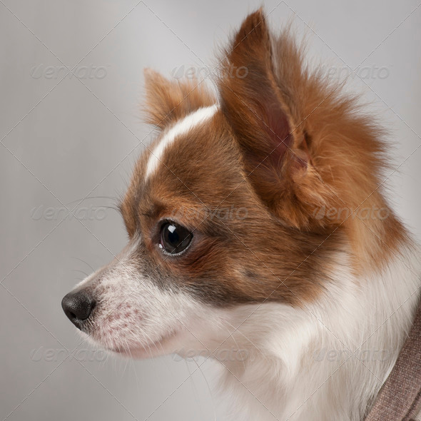 Close-up of Chihuahua, 11 months old, in front of grey background - Stock Photo - Images