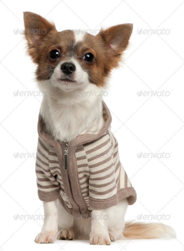 Chihuahua wearing striped jacket, 11 months old, sitting in front of white background - Stock Photo - Images