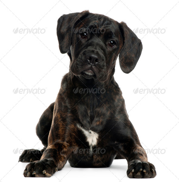 Mixed-breed puppy, 4 months old, lying in front of white background - Stock Photo - Images