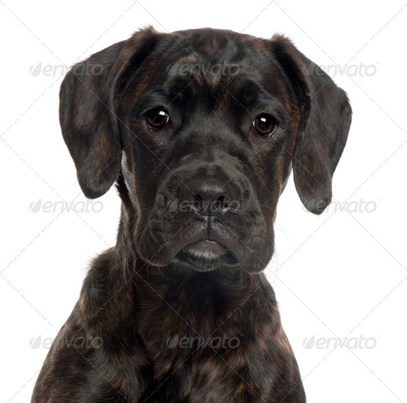 Close-up of Mixed-breed puppy, 4 months old, in front of white background - Stock Photo - Images