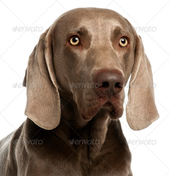 Close-up of a Weimaraner, 3 years old, in front of white background - Stock Photo - Images