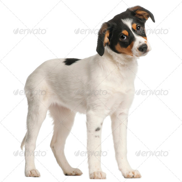 Mixed-breed puppy, 2 and a half months old, standing in front of white background - Stock Photo - Images