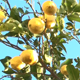 Lemon Tree - VideoHive Item for Sale