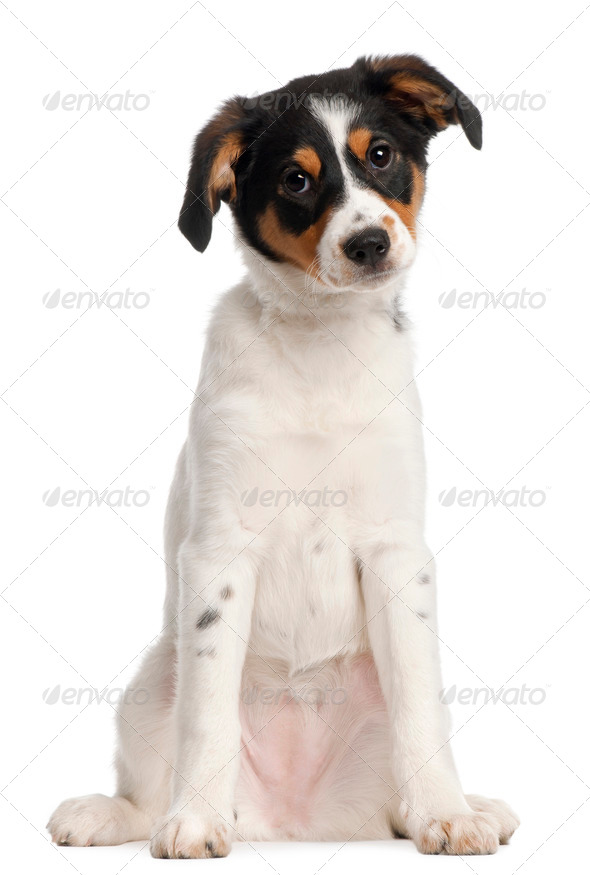 Mixed-breed puppy, 2 and a half months old, sitting in front of white background - Stock Photo - Images