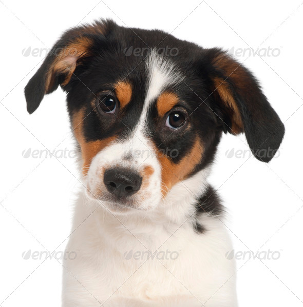 Close-up of Mixed-breed puppy, 2 and a half months old, in front of white background - Stock Photo - Images