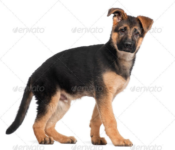 German Shepherd puppy, 3 months old, standing in front of white background - Stock Photo - Images