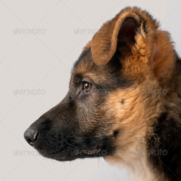 Close-up profile of German Shepherd puppy, 3 months old, in front of grey background - Stock Photo - Images