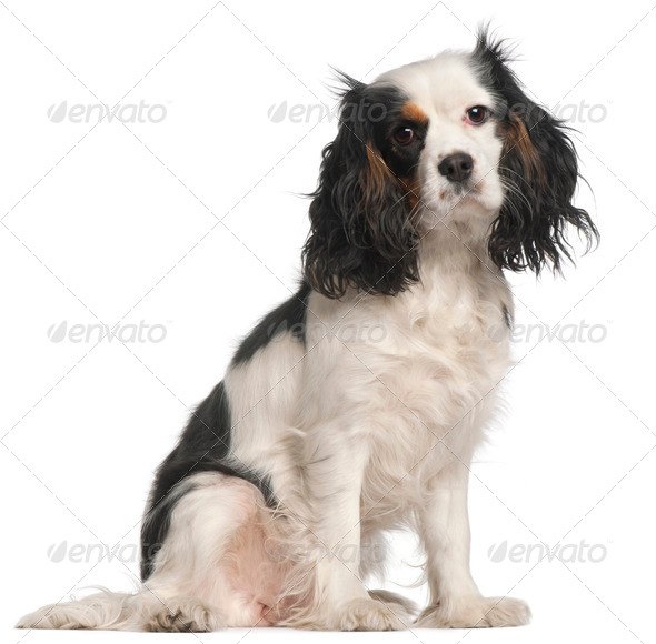 Cavalier King Charles Spaniel, 16 months old, sitting in front of white background - Stock Photo - Images
