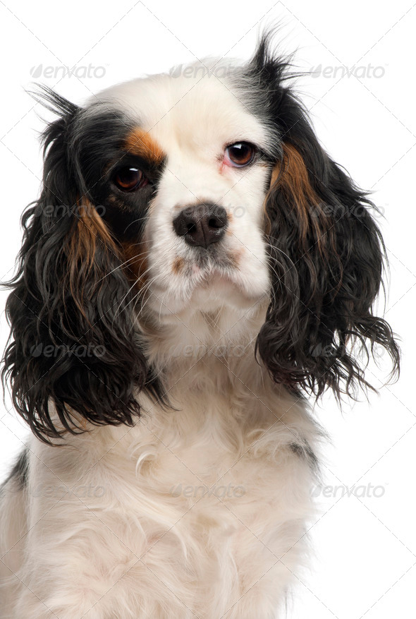 Close-up of Cavalier King Charles Spaniel, 16 months old, in front of white background - Stock Photo - Images