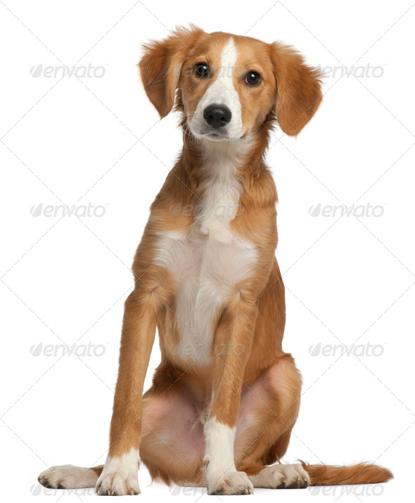 Mixed-breed puppy, 4 months old, sitting in front of white background - Stock Photo - Images