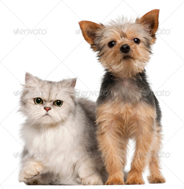 Yorkshire Terrier, 3 years old, and a Persian cat in front of white background - Stock Photo - Images