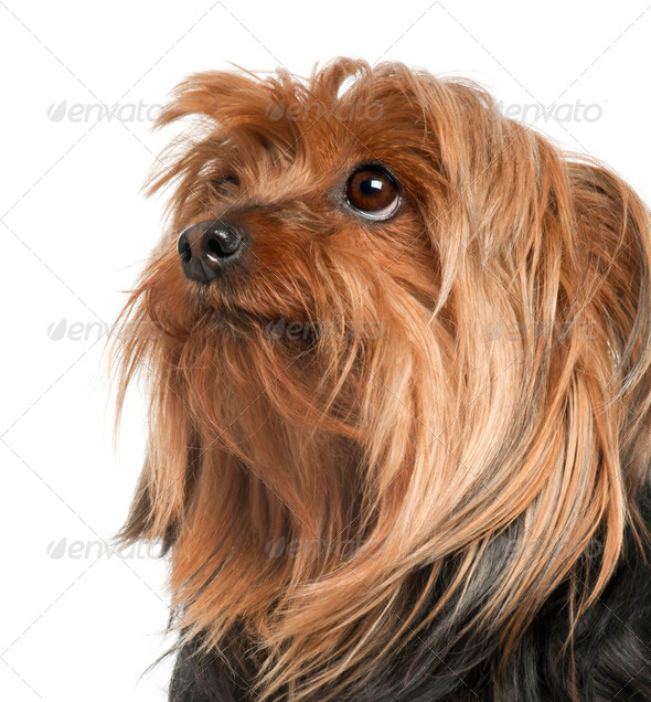 Close-up of Yorkshire Terrier, 5 years old, in front of white background - Stock Photo - Images