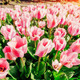 Group of pink tulips. Spring landscape. - PhotoDune Item for Sale