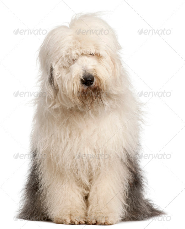 Old English Sheepdog, 2 and a half years old, sitting in front of white background - Stock Photo - Images