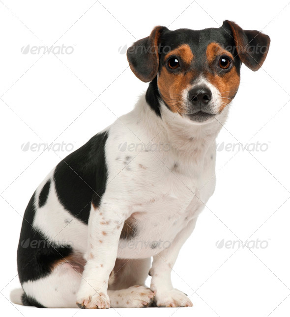 Jack Russell Terrier, 2 and a half years old, sitting in front of white background - Stock Photo - Images