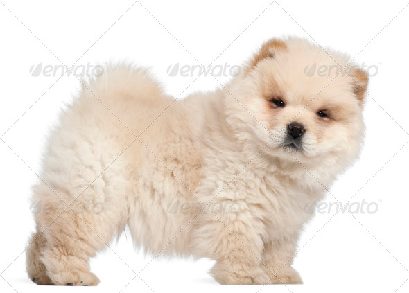 Chow chow puppy, 11 weeks old, standing in front of white background - Stock Photo - Images