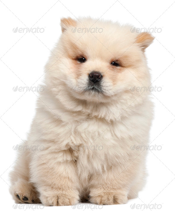 Chow chow puppy, 11 weeks old, sitting in front of white background - Stock Photo - Images