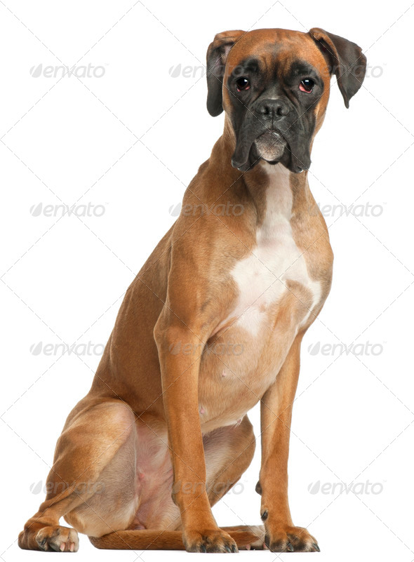 Boxer, 12 months old, sitting in front of white background - Stock Photo - Images