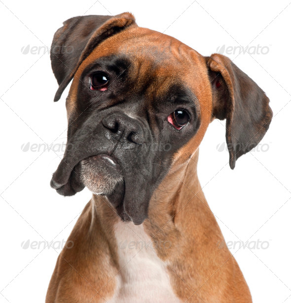 Close-up of Boxer, 12 months old, in front of white background - Stock Photo - Images