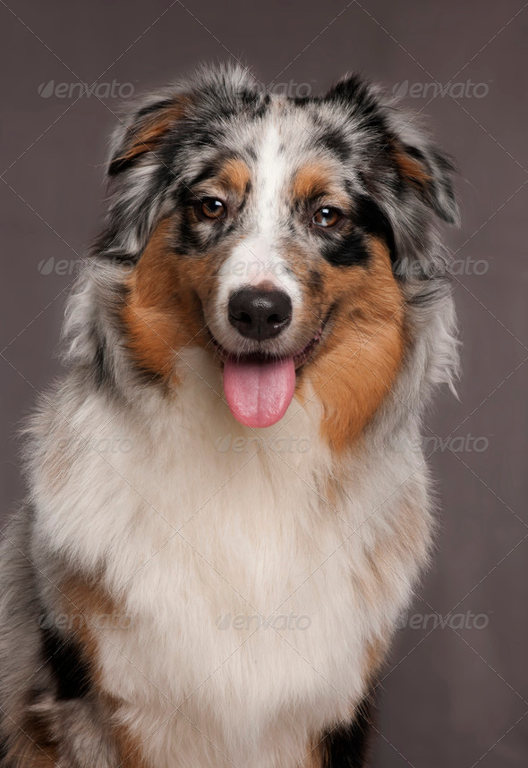 Australian Shepherd dog, 10 months old, in front of grey background - Stock Photo - Images