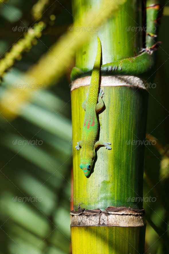 green gecko lizard - Stock Photo - Images