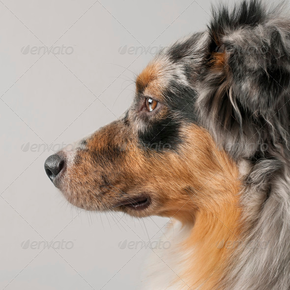 Close-up of Australian Shepherd dog, 10 months old, in front of grey background - Stock Photo - Images