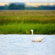 Mute swan - PhotoDune Item for Sale