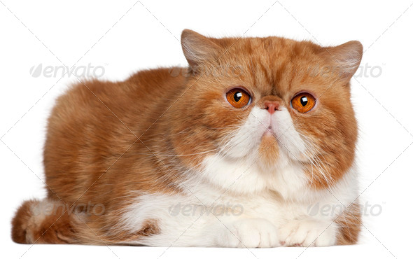 Exotic Shorthair cat, 2 and a half years old, lying in front of white background - Stock Photo - Images