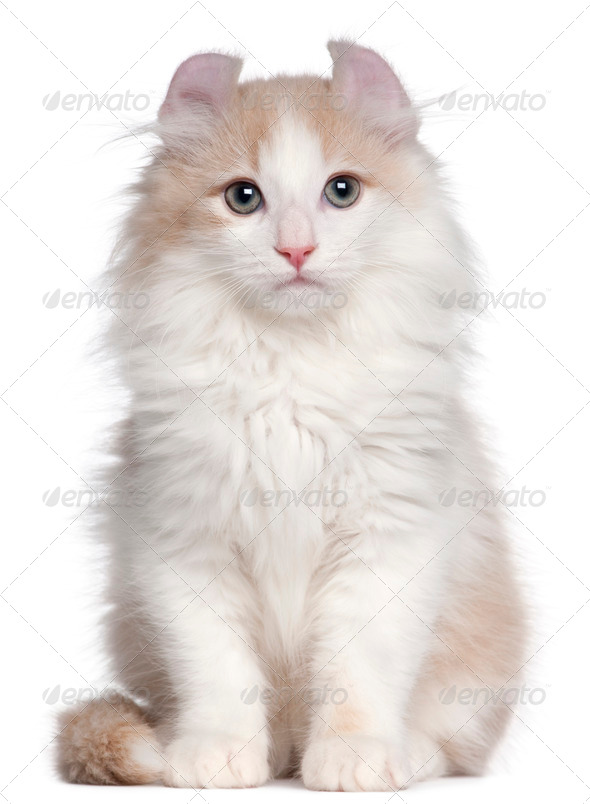 American Curl kitten, 3 months old, sitting in front of white background - Stock Photo - Images