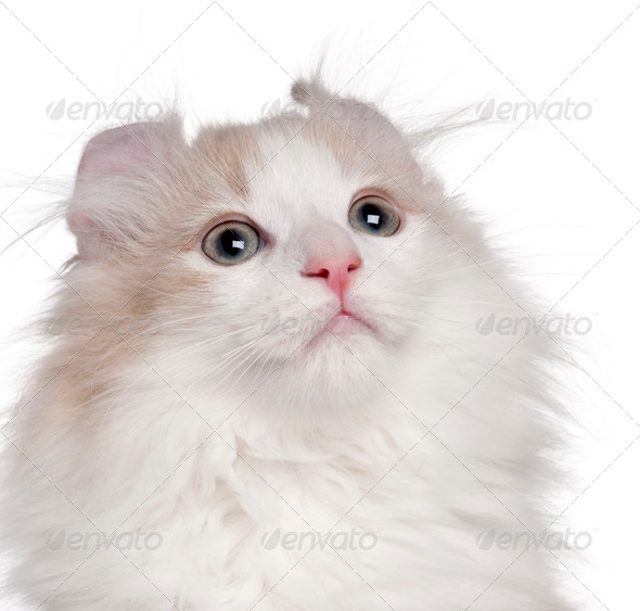 Close-up of American Curl kitten, 3 months old, in front of white background - Stock Photo - Images