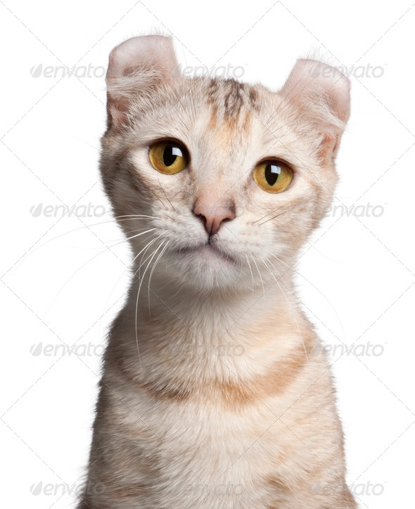 American Curl kitten, 7 months old, in front of white background - Stock Photo - Images
