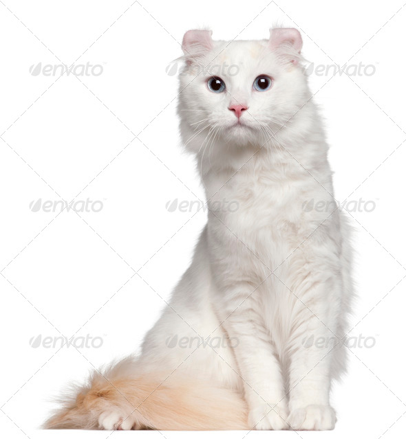 American Curl cat, 1 and a half years old, sitting in front of white background - Stock Photo - Images