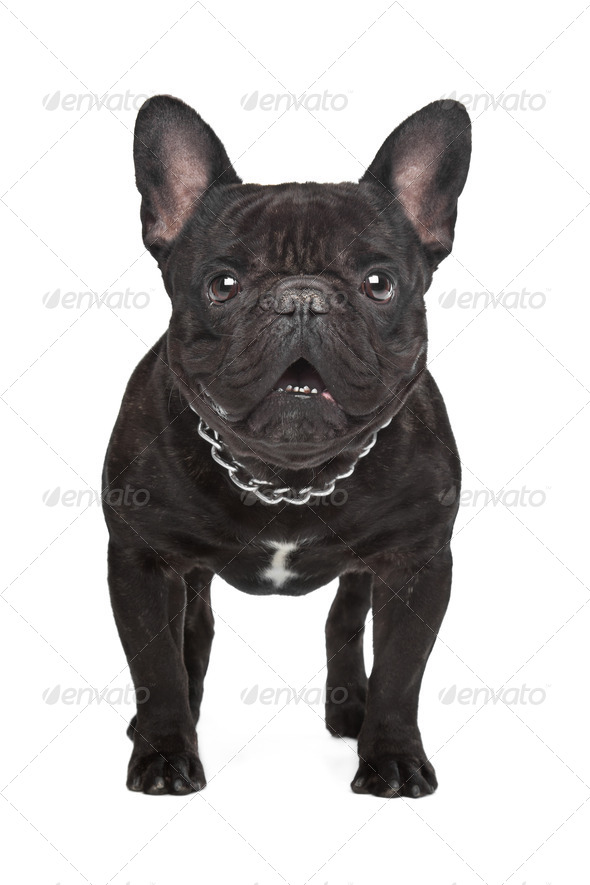 Dark brown French bulldog - Stock Photo - Images