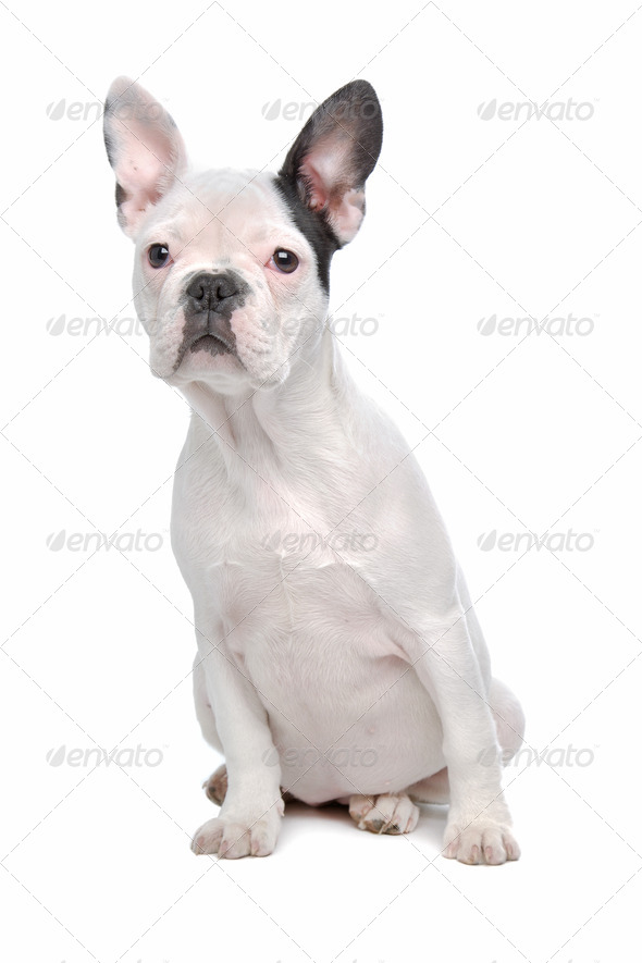 French Bulldog puppy - Stock Photo - Images