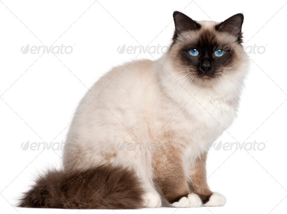 Birman cat, 1 year old, sitting in front of white background - Stock Photo - Images