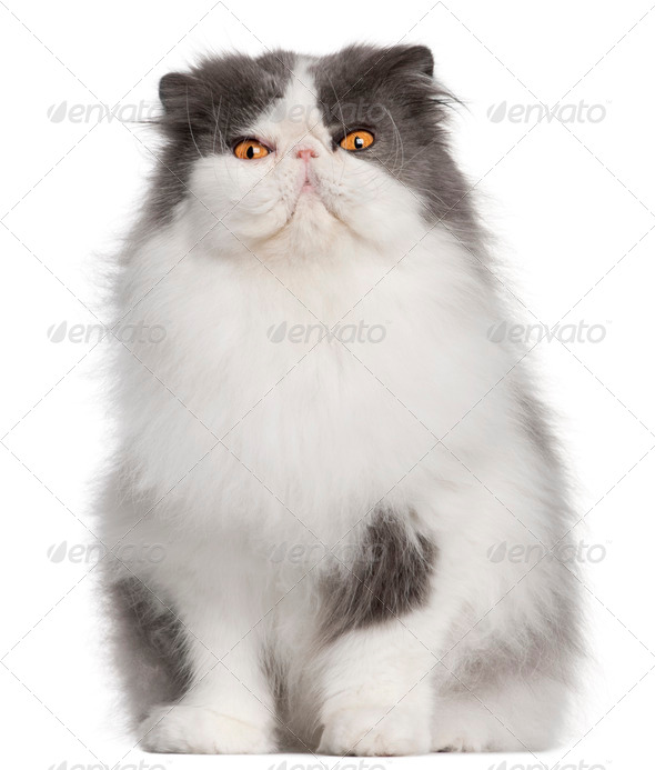Persian cat, 9 years old, sitting in front of white background - Stock Photo - Images
