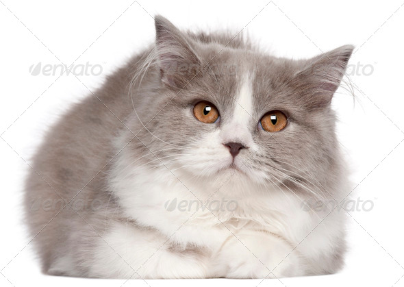 British Longhair cat, 6 months old, lying in front of white background - Stock Photo - Images