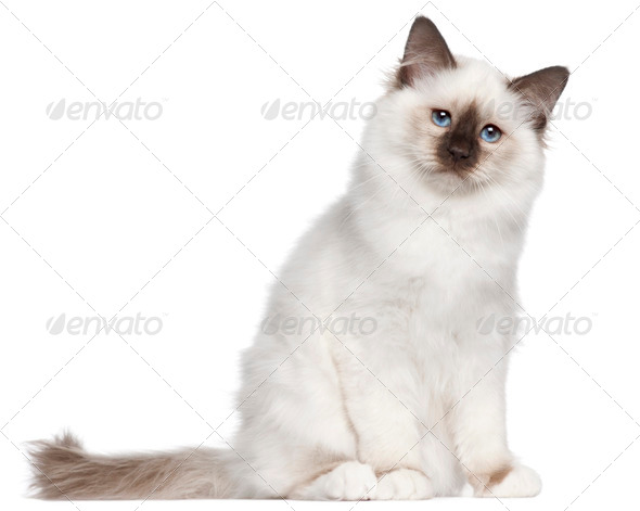 Birman kitten, 4 months old, sitting in front of white background - Stock Photo - Images