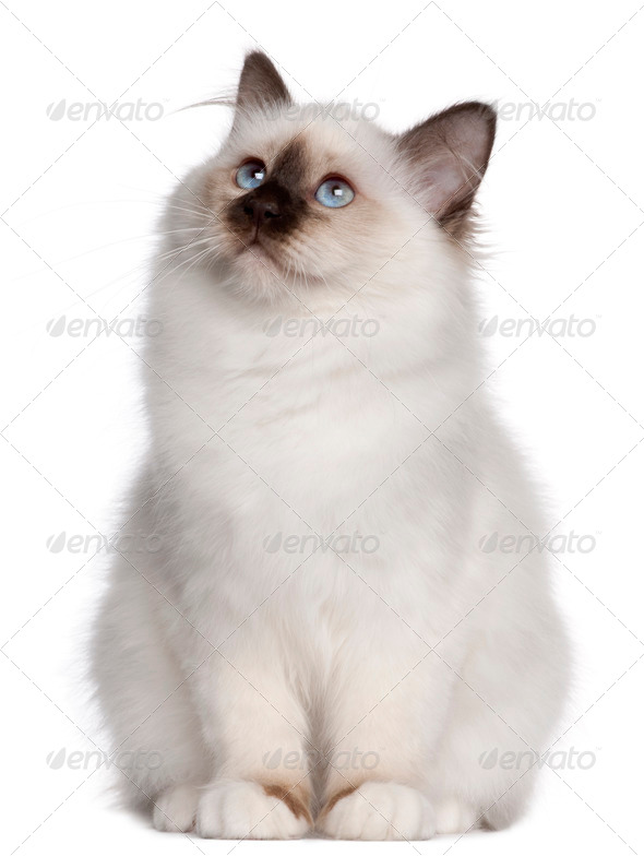 Birman kitten, 4 months old, sitting and looking up in front of white background - Stock Photo - Images