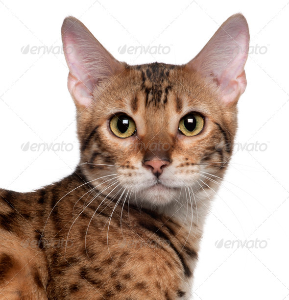 Close-up of Bengal cat, 7 months old, in front of white background - Stock Photo - Images