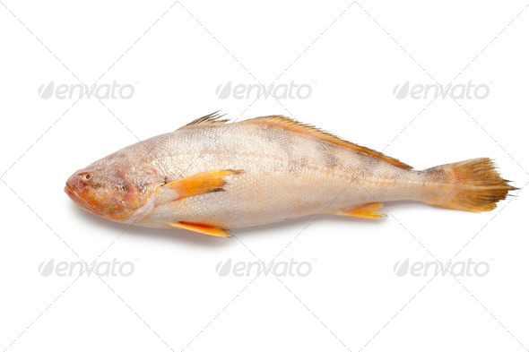 Single fresh raw butterfish - Stock Photo - Images