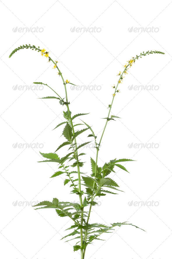 Fresh blooming agrimony - Stock Photo - Images