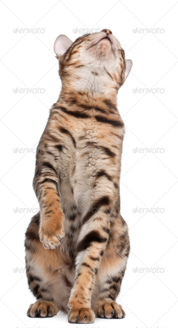 Bengal cat, 7 months old, looking up in front of white background - Stock Photo - Images