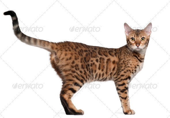 Bengal cat, 7 months old, standing in front of white background - Stock Photo - Images