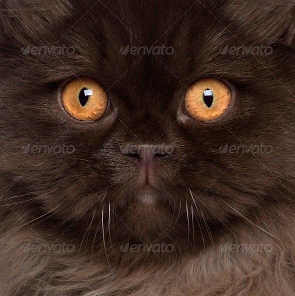 British Longhair (6 months old) - Stock Photo - Images