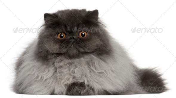Persian cat, 8 months old, lying in front of white background - Stock Photo - Images