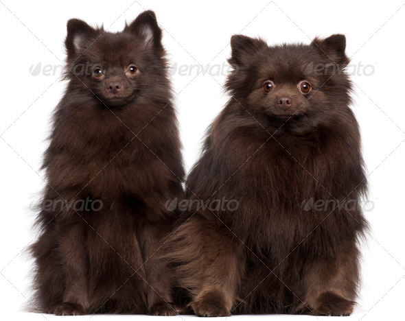 Two brown dogs sitting in front of white background - Stock Photo - Images