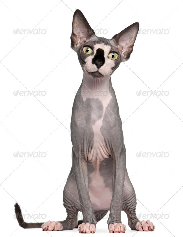Sphynx cat, 8 months old, sitting in front of white background - Stock Photo - Images